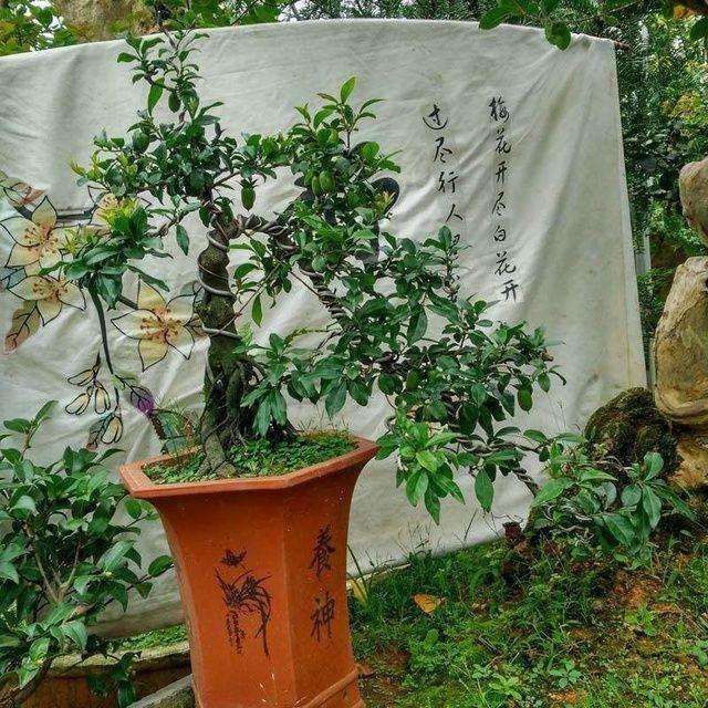 金弹子盆景种子什么时候播种最好