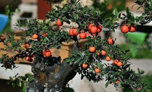在春季修剪金弹子盆景可以促进其萌生新芽