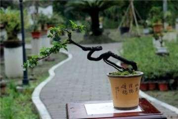 金弹子老桩盆景什么时候移栽繁殖最好发芽