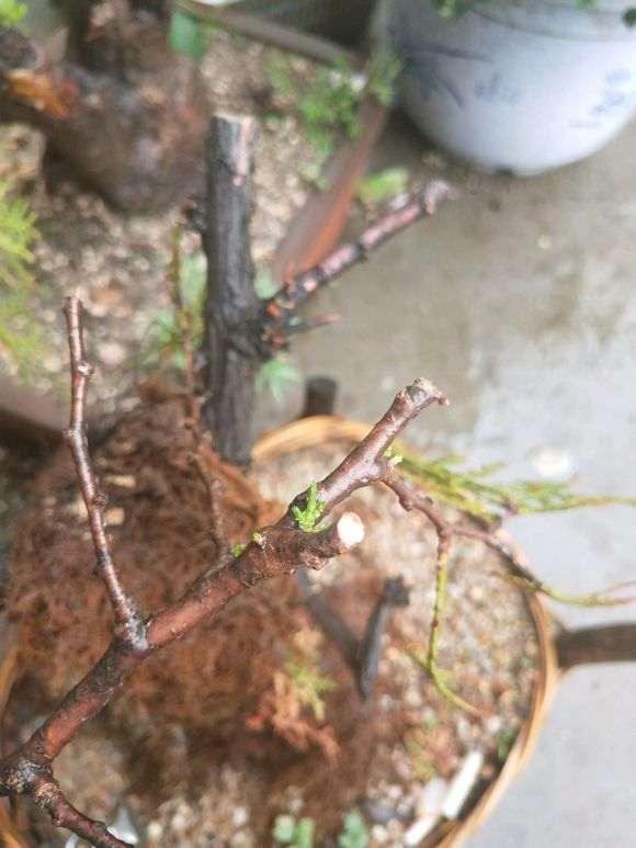 崖柏下山桩两个月 发的芽已死 求各位老师解答