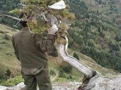 山东鲁大爷 在山里发现一棵快要枯死的崖柏下山桩