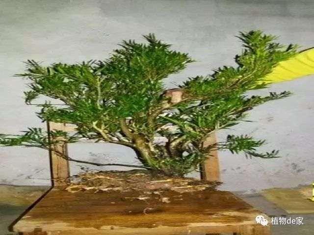冬季栽种黄杨下山桩
