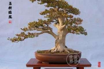 一棵4米多高的黄杨盆景被人偷了