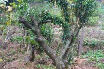 黄杨老桩盆景怎么养护的要点 图片