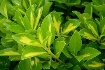 大叶黄杨盆景一定要在阳光充沛的地方 才能快速生长