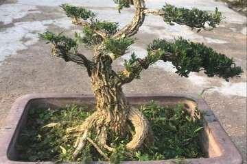 分享快速把黄杨盆景养成老桩的方法