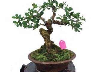 黄杨盆景移植上盆后怎么养护技巧