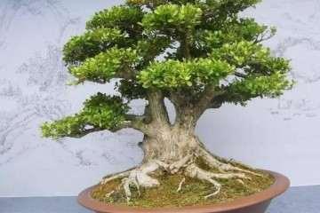 不同生境对大叶黄杨盆景叶绿素积累差异及规律研究
