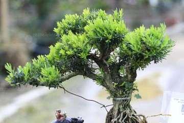 黄杨盆景的特性及生长习性与资源分布