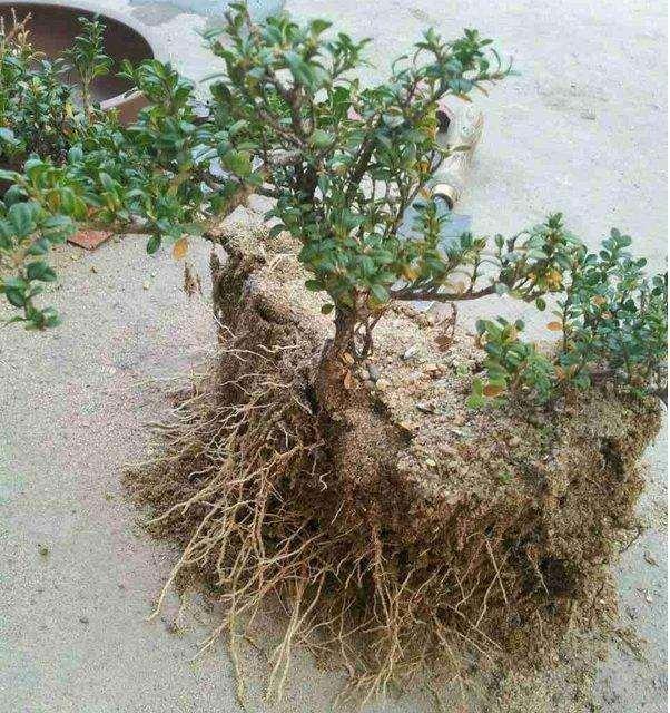黄杨下山桩快速生根