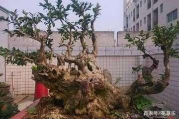 黄杨盆景生根后怎么催芽发芽的方法