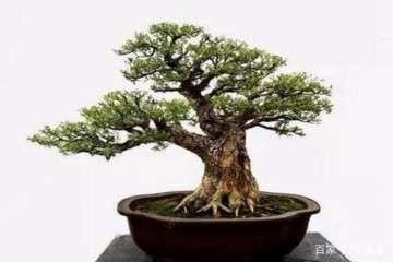 什么方法可让黄杨盆景7天快速发芽催芽