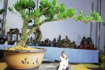 黄杨盆景可修剪成云朵型 也可以打造成悬崖型