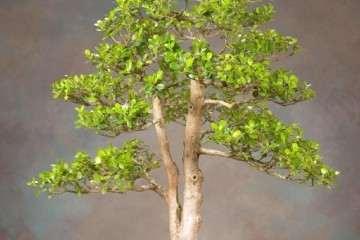 教你如何塑造一棵大叶黄杨盆景 3个步骤