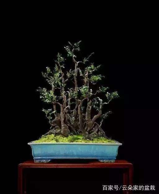 黄杨盆景的制作与养护技巧