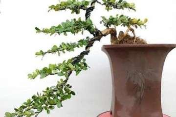种植黄杨盆景的盆子怎么挑选