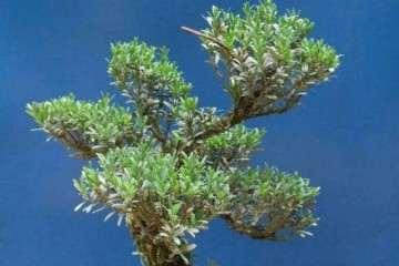 冬季养护雀舌黄杨盆景的5个步骤