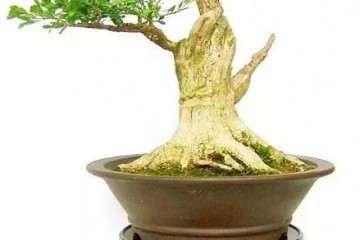 黄杨盆景在温度和光照上的养护