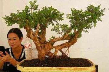 黄杨盆景叶子怎么造型的方法