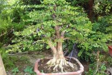 黄杨盆景的水分与修剪