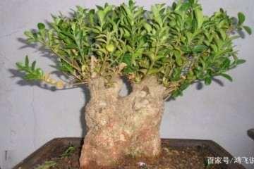 种植黄杨盆景怎么造型与蟠扎