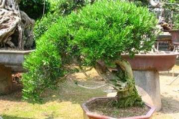 雀舌黄杨盆景的2个施肥注意事项
