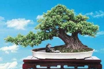 怎么给雀舌黄杨盆景浇水 有3种方法