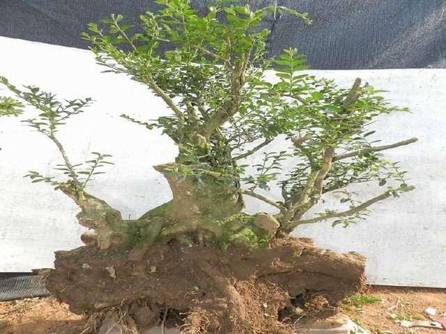 悬崖式黄杨下山桩养护过程