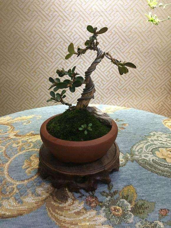 黄杨修剪后的枝条