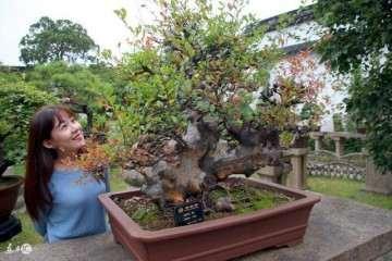 黄杨盆景移栽后怎样施肥与换盆的技巧