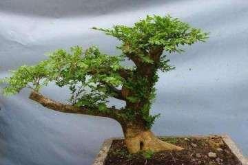 种植黄杨盆景怎么养护温度和光照