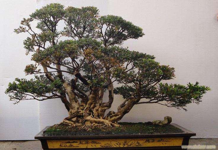 黄杨盆景的扦插与浇水技巧