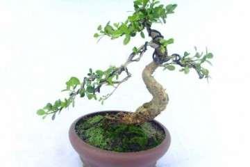 春季黄杨盆景萌芽后怎么修剪造型