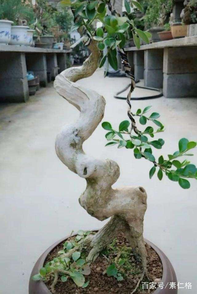 分享黄杨盆景的5个养护步骤