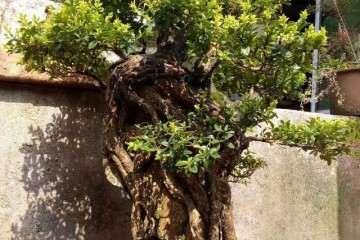 黄杨老桩盆景在上盆前怎么栽植的方法