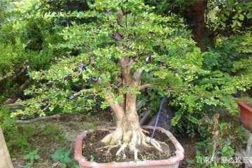 如何把握制作黄杨盆景的施肥时间?