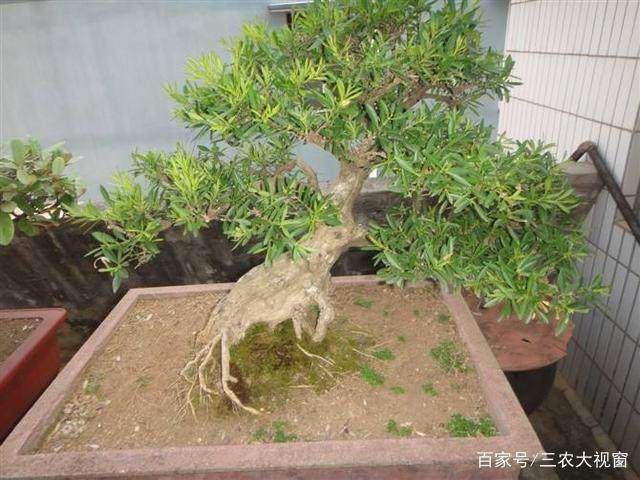 黄杨盆景怎么不发芽