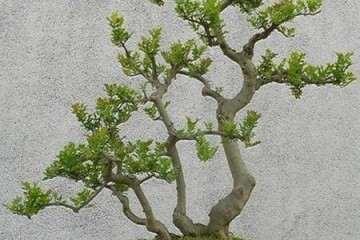 黄杨盆景怎么不发芽?看看别人怎么进行催芽的