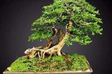 黄杨盆景耐修剪 成型后不易走型