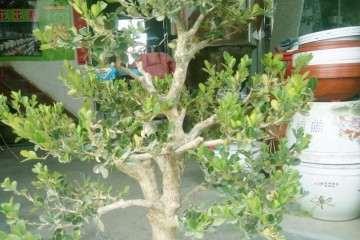 黄杨盆景在春季怎么施肥最好发芽