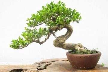 黄杨盆景浇水的3个注意事项