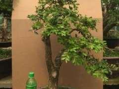 黄杨下山桩用什么土壤最好 看他的方法 图片