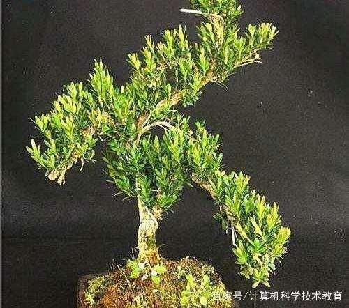 雀舌黄杨盆景的养护方法是什么