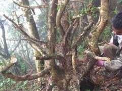 一个光秃秃的黄杨下山桩 都这个季节了 能栽活吗?