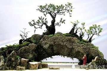 如何制作一盆满意的附石盆景?