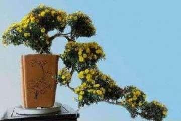 附石菊盆景和悬崖菊盆景的制作方法