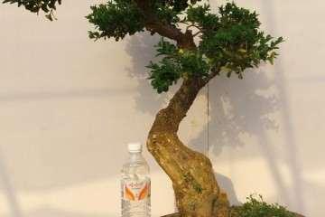 怎么在春天给黄杨盆景整形和翻盆换盆的方法