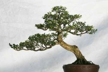 怎么给黄杨盆景选择花盆和土壤?
