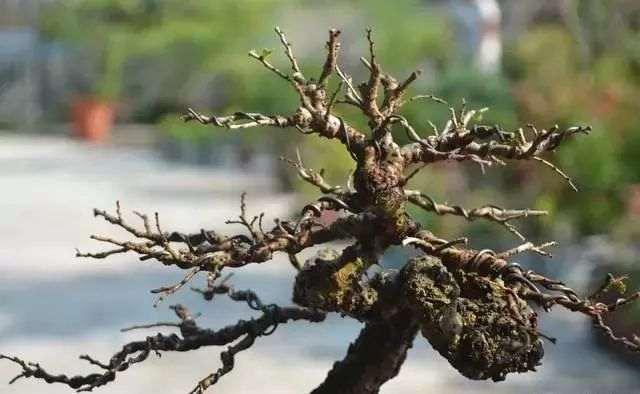 榆树盆景换盆造型