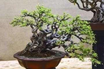图解 看我是怎么对榆树盆景换盆造型的方法